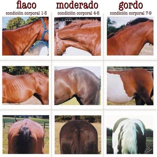 diferentes condiciones corporales en el caballo