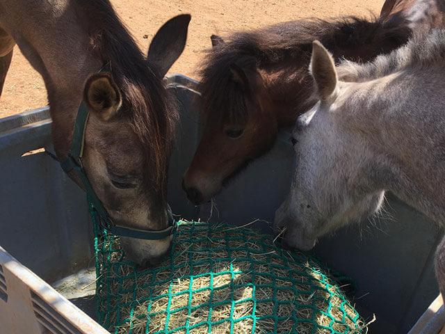 equinos disfrutando de las redes heno portoverde