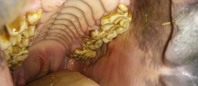 ¿Qué es el diente de lobo del caballo? ¿Por qué quitarlo?
